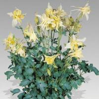 Aquilegia Music Yellow