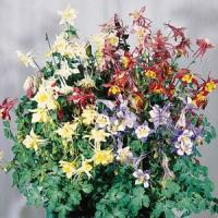 Aquilegia Music Mix
