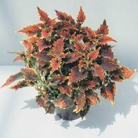 Olympic Torch Coleus