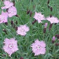 Dianthus Baths Pink