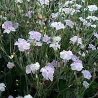 Lychnis Angel Blush