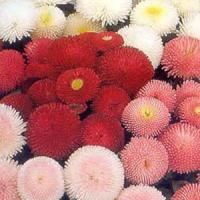Bellis Pomponette Mix