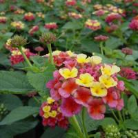 Lantana Confetti Purple Yellow