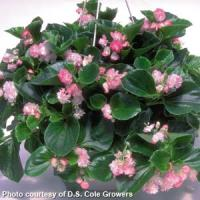 Cherry Blossom Begonia Vegetative