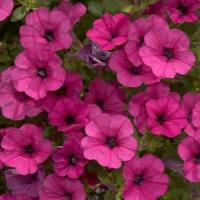 Mini Me® Purple Petunia