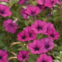 Mini Me® Purple Dark Eye Petunia