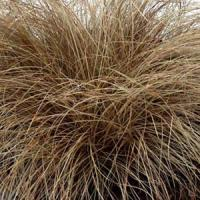 Grass Carex flagellifera Toffee Twist