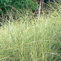 Grass Miscanthus sinensis Morning Light