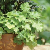 Heuchera Dolce Key Lime Pie