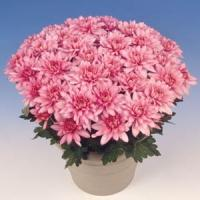 Padmos Time Pink Pot Mum