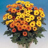 Vyking Orange Pot Mum