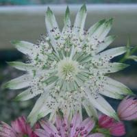 Astrantia major Princess Sturdza