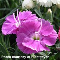 Dianthus Shooting Star