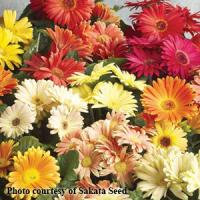 Speedy Mix Gerbera