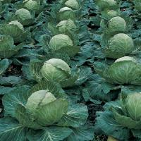 Gold Mark Cabbage