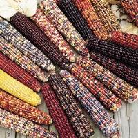 Wilda's Pride Ornamental Corn