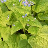 Brunnera macrophylla Green Gold