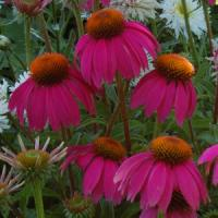 Echinacea purpurea Red Knee High