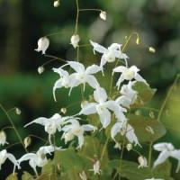 Epimedium Arctic Wings