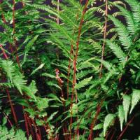 Fern Athyrium Lady In Red