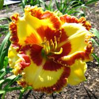 Hemerocallis Lady Betty Fritz