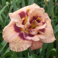 Hemerocallis Your Angel