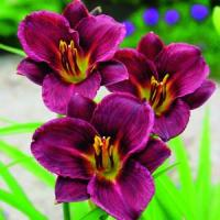 Hemerocallis Welchkins