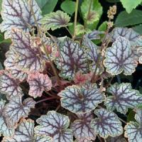 Heuchera villosa Magic Color