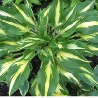 Hosta Lemon Juice
