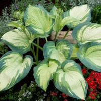 Hosta Marie's Angel