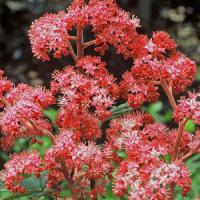 Rodgersia Bloody Mary