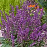 Salvia verticillata Endless Love