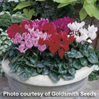 Miracle Mix Cyclamen