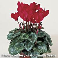 Miracle Scarlet Cyclamen