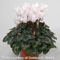 Miracle White Cyclamen