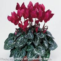 Miracle Wine Cyclamen
