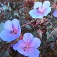 Geranium pratense Midnight Blues