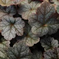 Heuchera villosa Color Dream