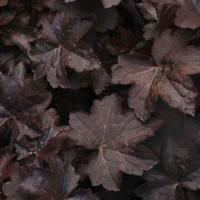 Heuchera hybrid Molly Bush