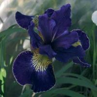 Iris sibirica Golden Edge