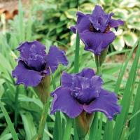 Iris sibirica Ruffled Plus