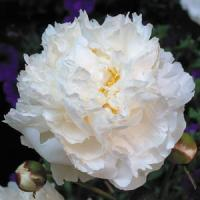 Paeonia lactiflora Bowl Of Cream