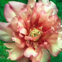 Paeonia intersectional Julia Rose
