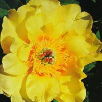 Paeonia intersectional Sequestered Sunshine