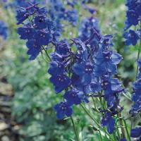 Delphinium Blue Shadows