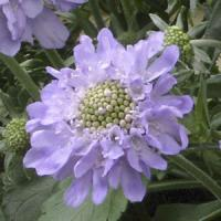 Scabiosa japonica Blue Diamonds