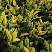 Euonymus Golden Flair