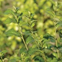 Pittosporum Golden Pillar