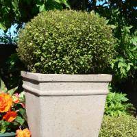 Pittosporum Elfin