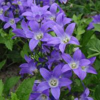 Campanula lactiflora Border Blues